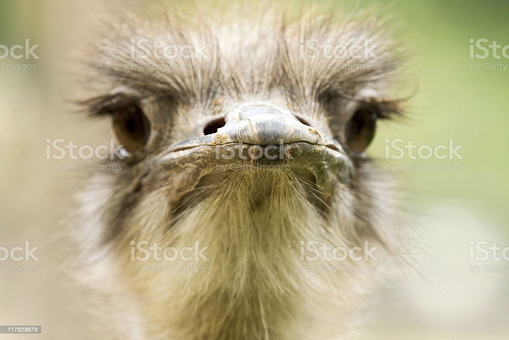 Close-up portrait of ostrich royalty-free stock photo