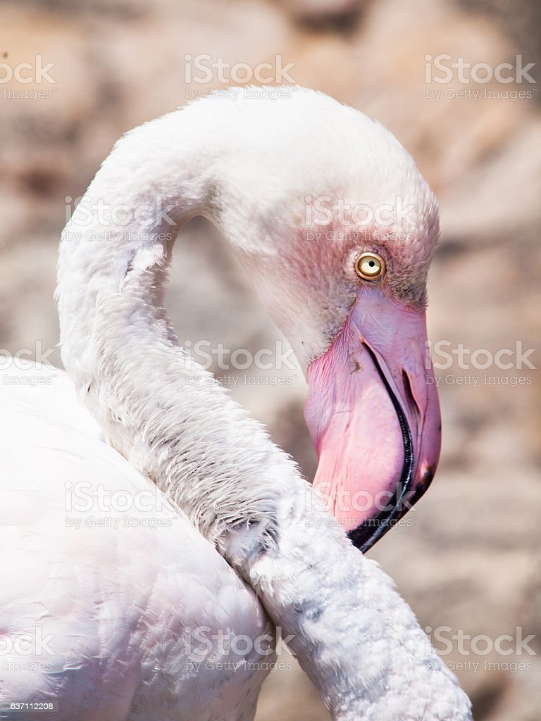 Close-up portrait of pink flamingo stock photo