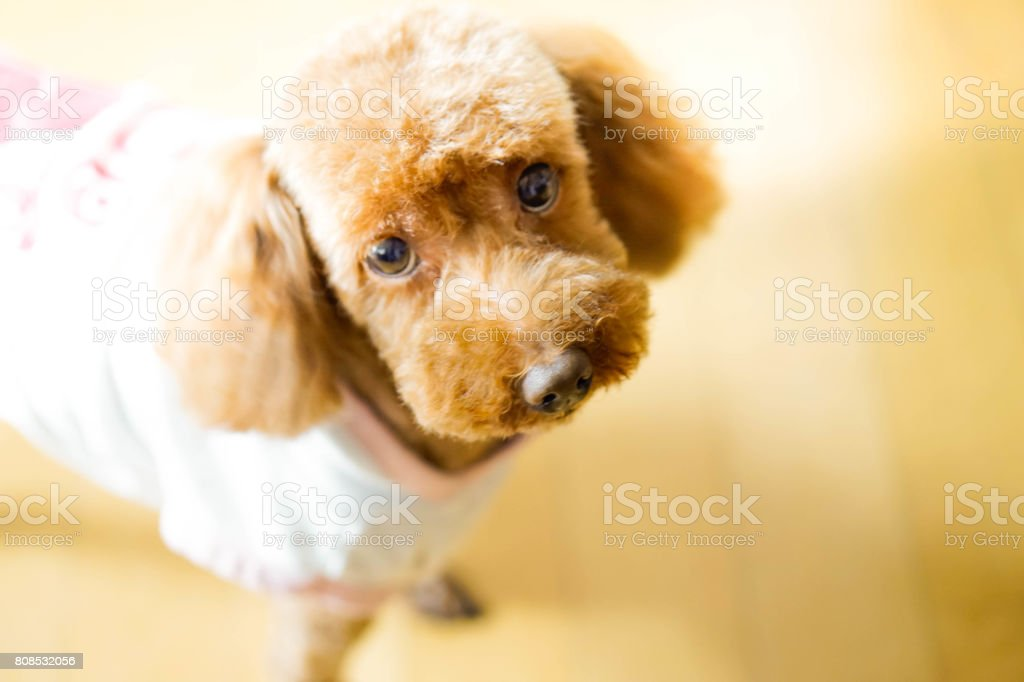 Close-Up Portrait Of Poodle Dog stock photo