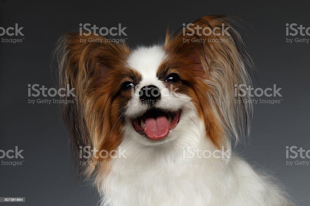 Closeup Portrait of Satisfied White Papillon Dog on black stock photo