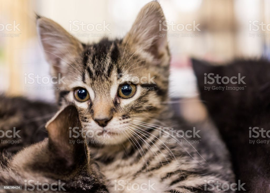 Closeup portrait of small tabby kitten looking forward cuddling stock photo