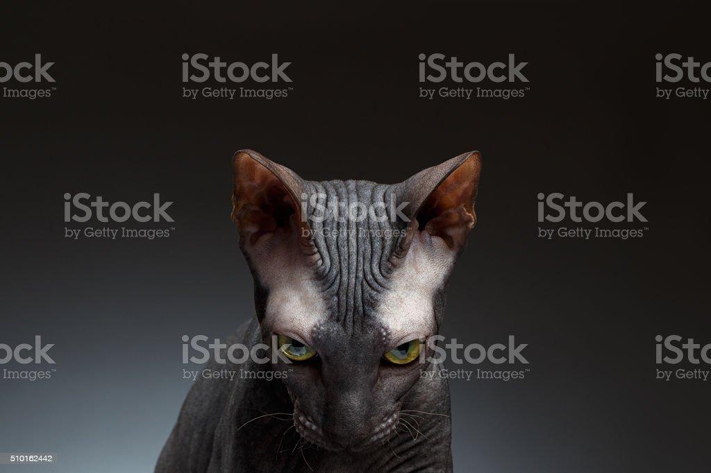 Closeup Portrait of Sphynx Cat Gaze Looks on Black stock photo