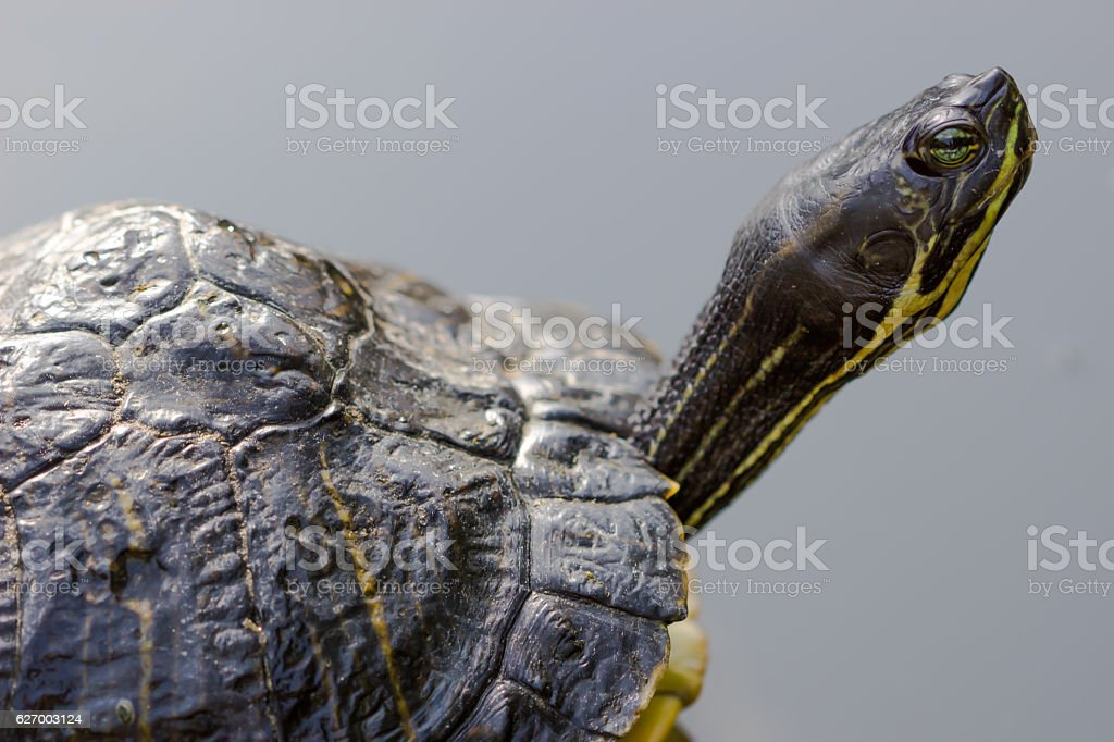 closeup portrait of tortoise on a dark background stock photo