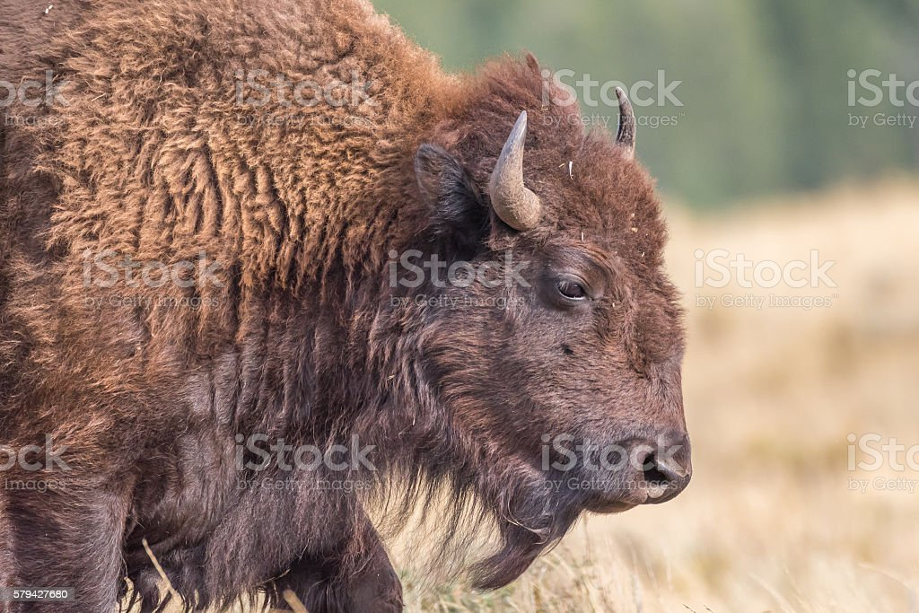 Close-up portrait of wild bison stock photo