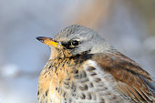 Close-up portrait of winter fieldfare