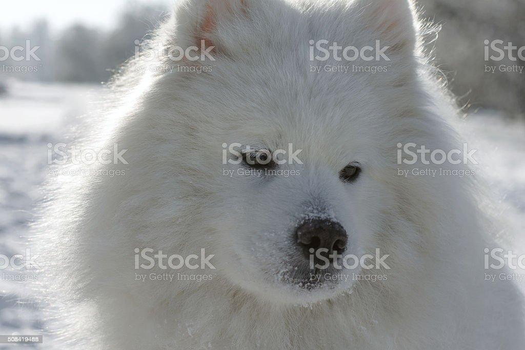 Close-up portrait Samoyed husky stock photo