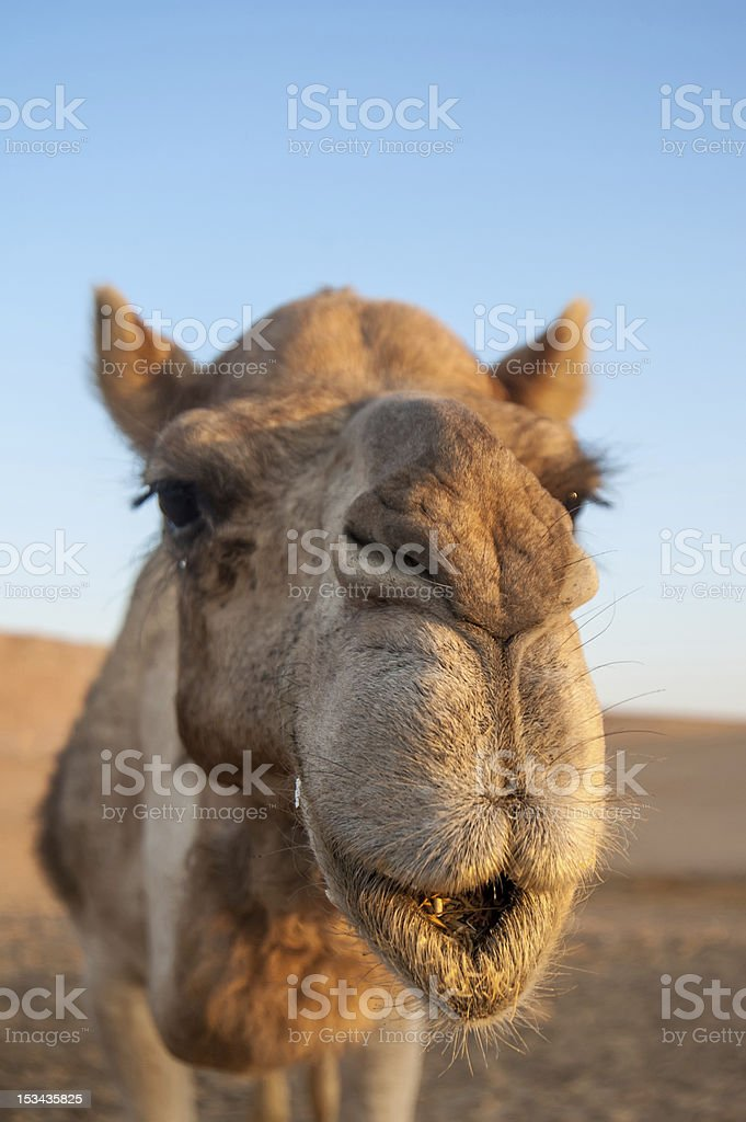 Closeup portret of camel stock photo