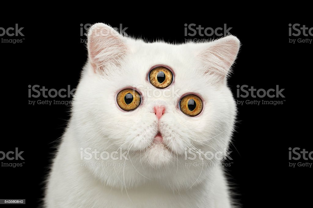 Close-up predictor Pure White Exotic Cat Head Isolated Black Background stock photo