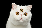 Close-up predictor Pure White Exotic Cat Head Isolated Black Background