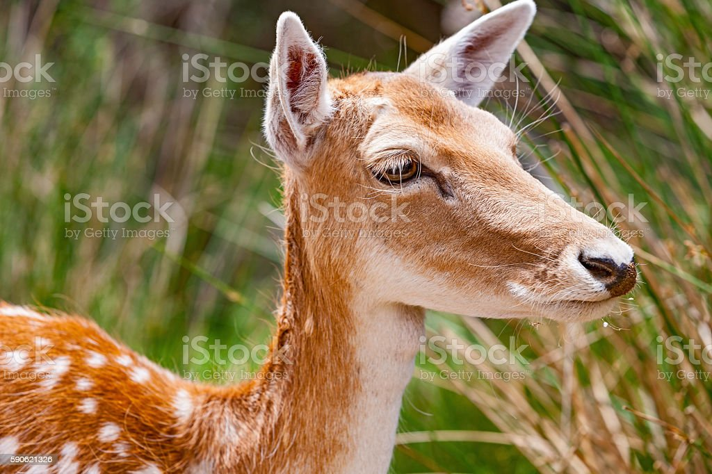Close-up profile cute young fallow deer stock photo