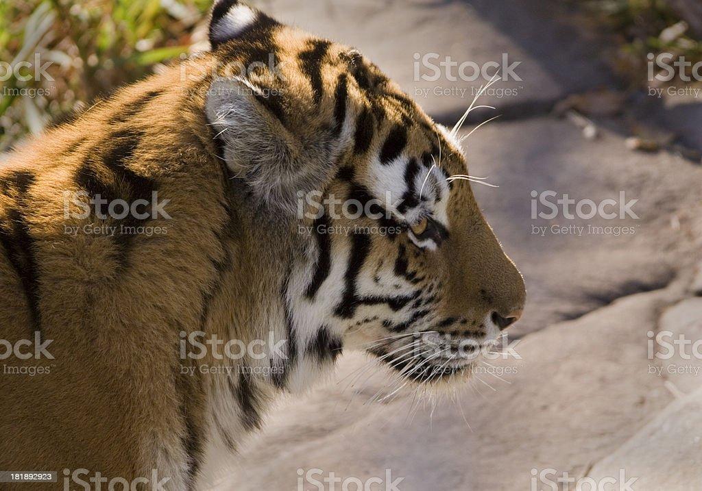 Close-up Profile of a Amur Tiger stock photo