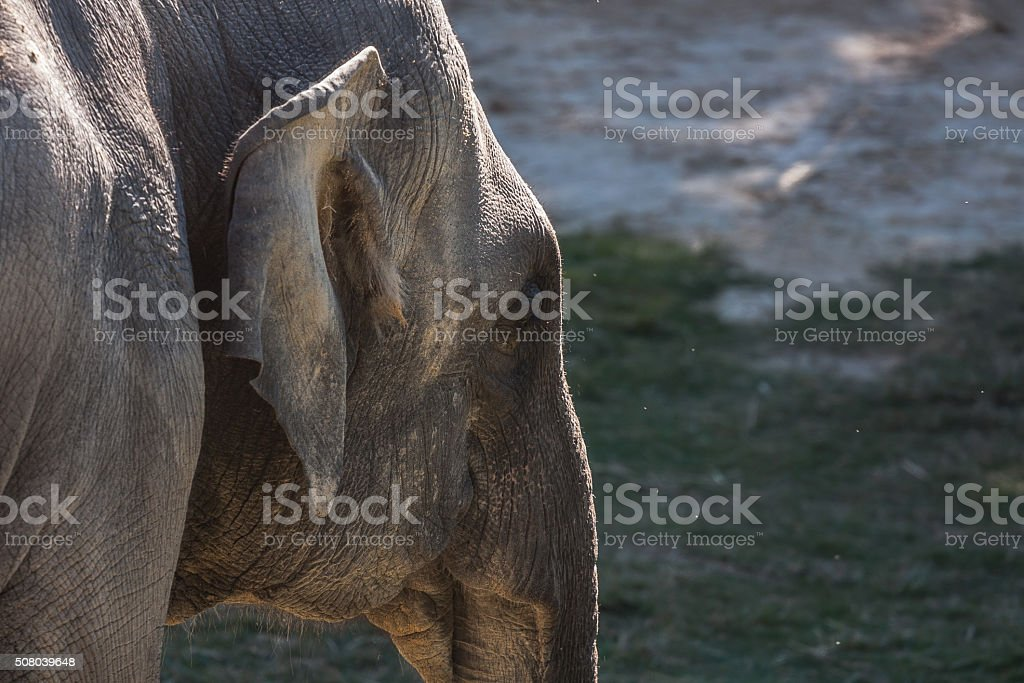 Closeup Profile of Asian Elephant stock photo