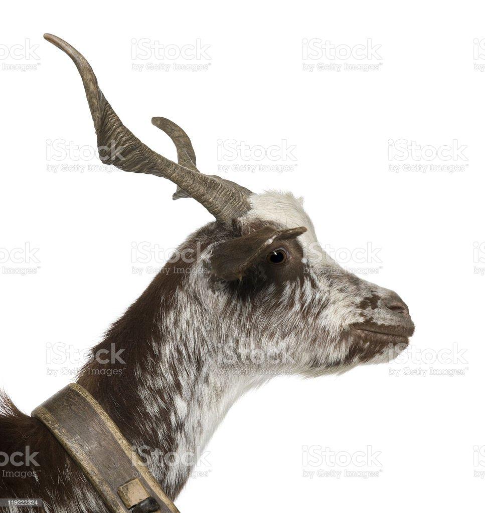 Close-up profile of female Rove goat stock photo