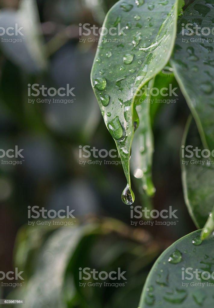 close-up raindrop falling green Ficus benjamina leaf raindrops in stock photo