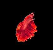 closeup red beautiful small siam betta fish with isolate backgro