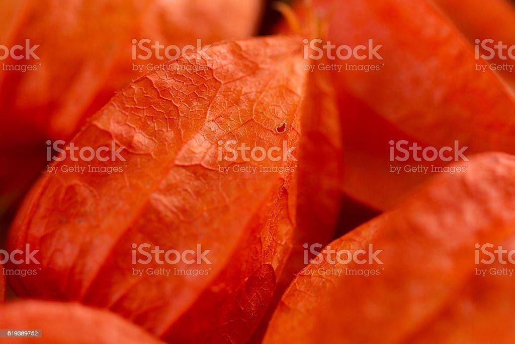 Closeup red flowers physalis stock photo