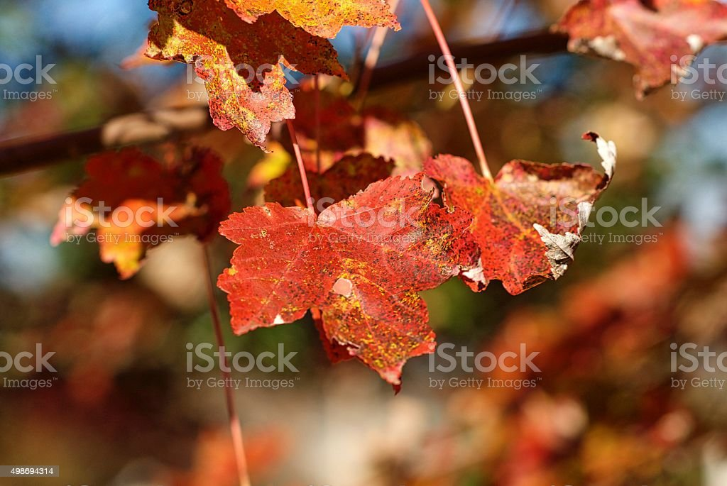 Close-up, Red Maple Leaves stock photo