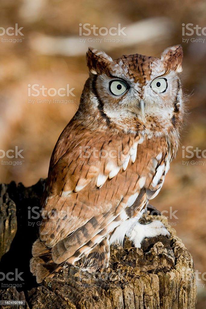 Closeup, Red Phase Eastern Screech Owl (Otus asio) stock photo
