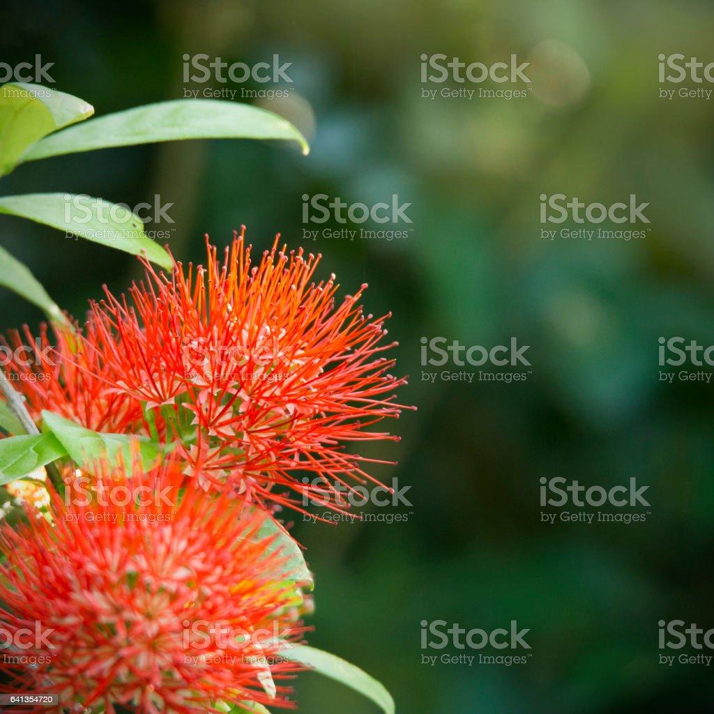 Closeup red powder puff flower stock photo