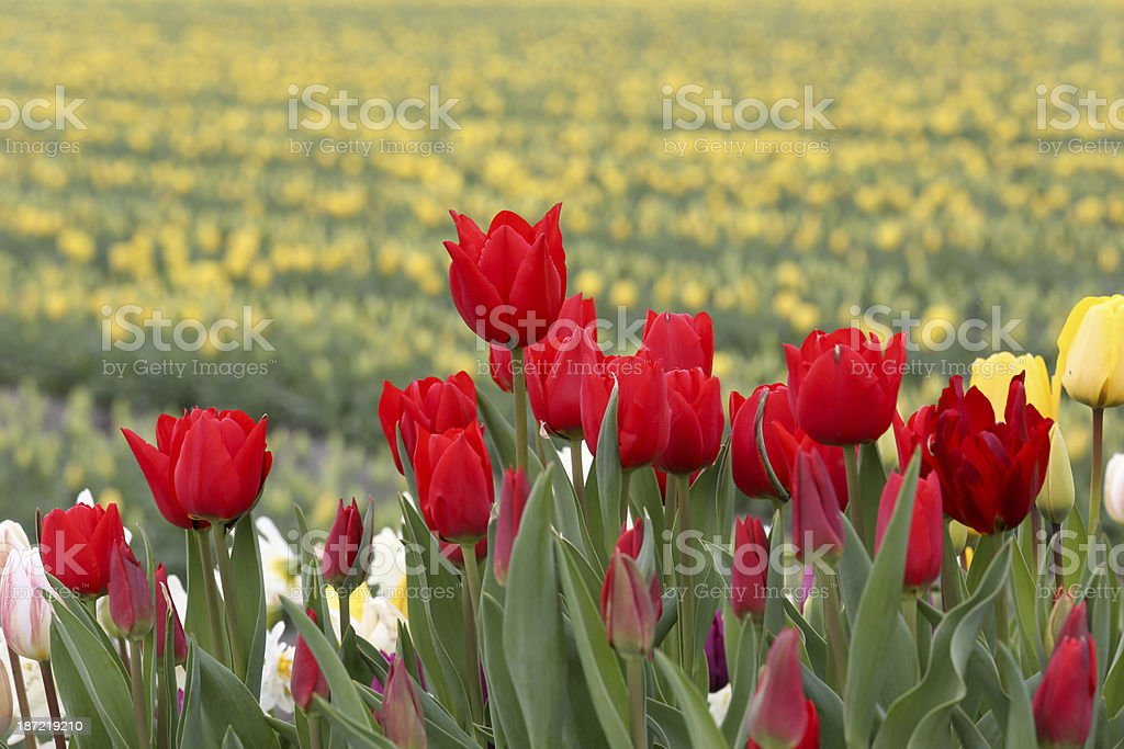 Close-up red tulip flowers royalty-free stock photo