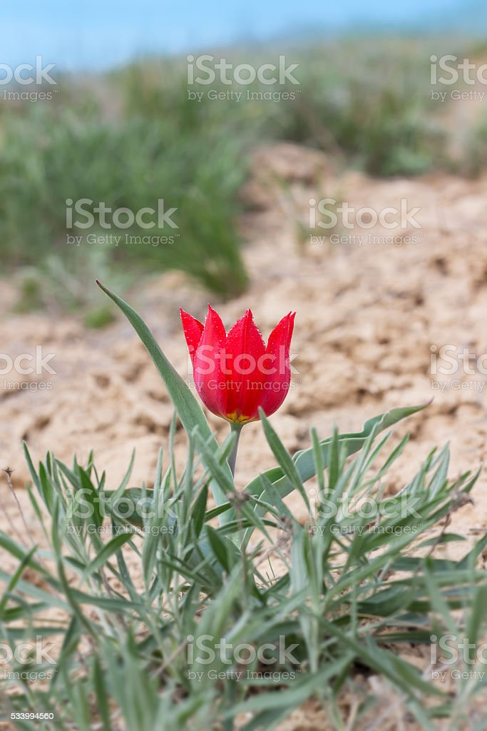 closeup red tulip near mount Bogdo in reserve stock photo