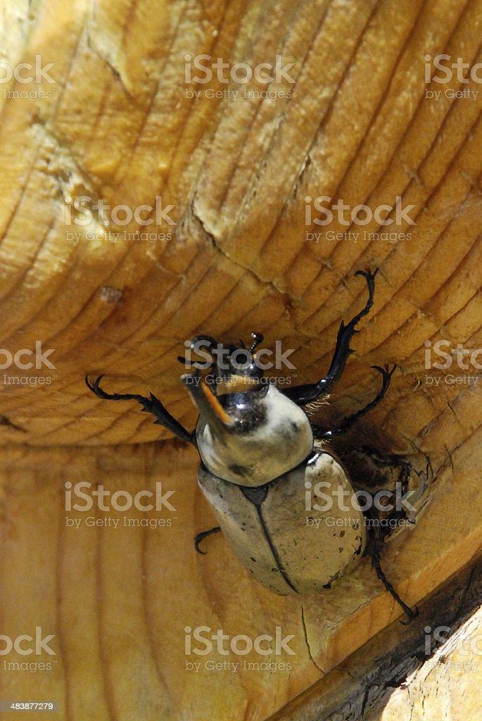 Closeup Rhinoceros Beetle Carmel Junction Utah stock photo
