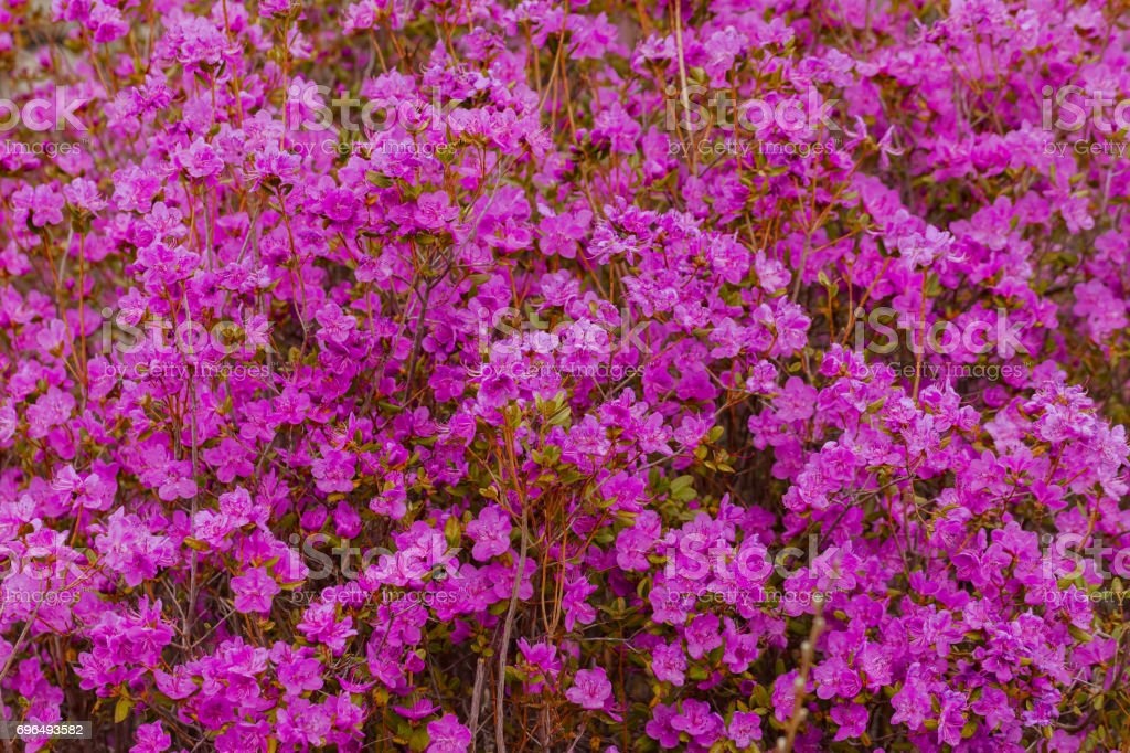 Closeup Rhododendron dauricum flowers. Spring blossoming in Altai stock photo