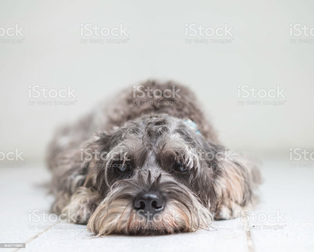 Closeup schnauzer dog lied on blurred tile floor and white cement wall in front of house view background with copy space stock photo
