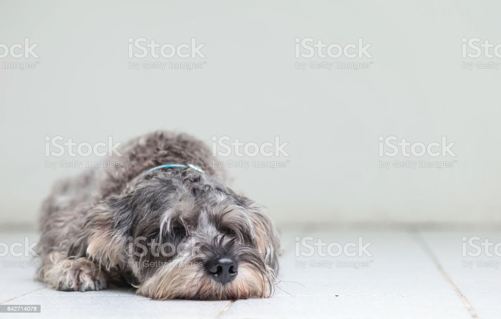 Closeup schnauzer dog lied to sleep on blurred tile floor and white cement wall in front of house view background with copy space stock photo
