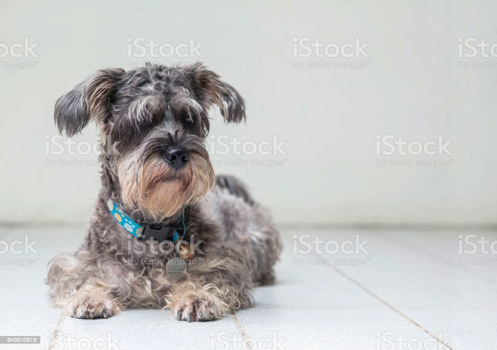 Closeup schnauzer dog looking on blurred tile floor and white cement wall in front of house view background with copy space stock photo