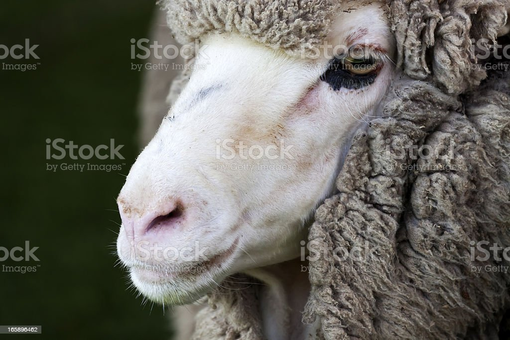 Closeup sheep head against black background, copy space stock photo