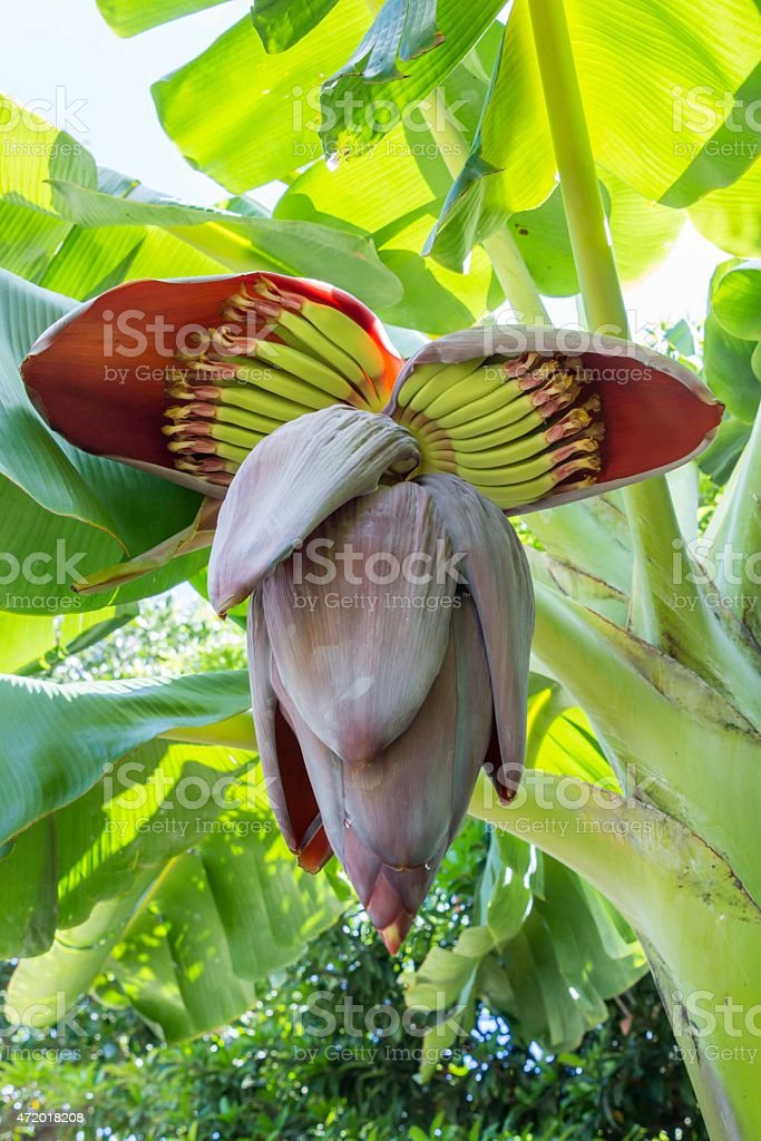 Close-up shot of a banana flower with the details inside stock photo