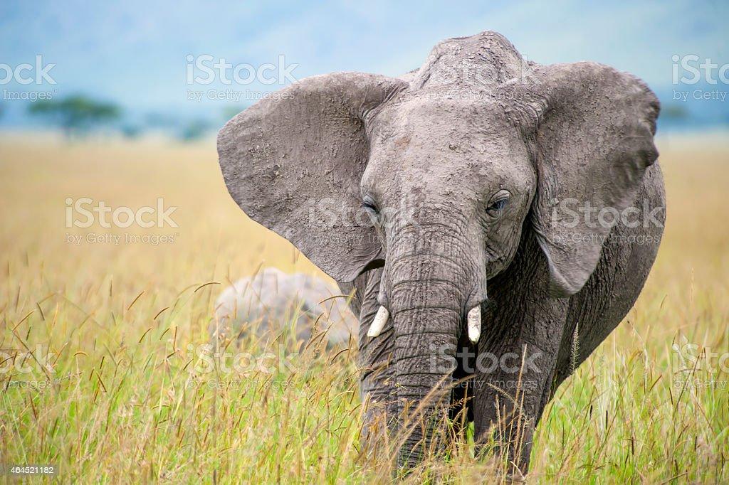Closeup shot of a feeding Elephant in the Masai Mara stock photo