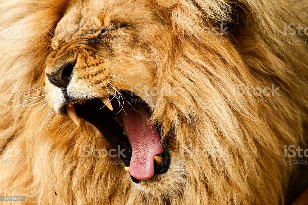 Close-up shot of a golden haired lion roaring loudly stock photo