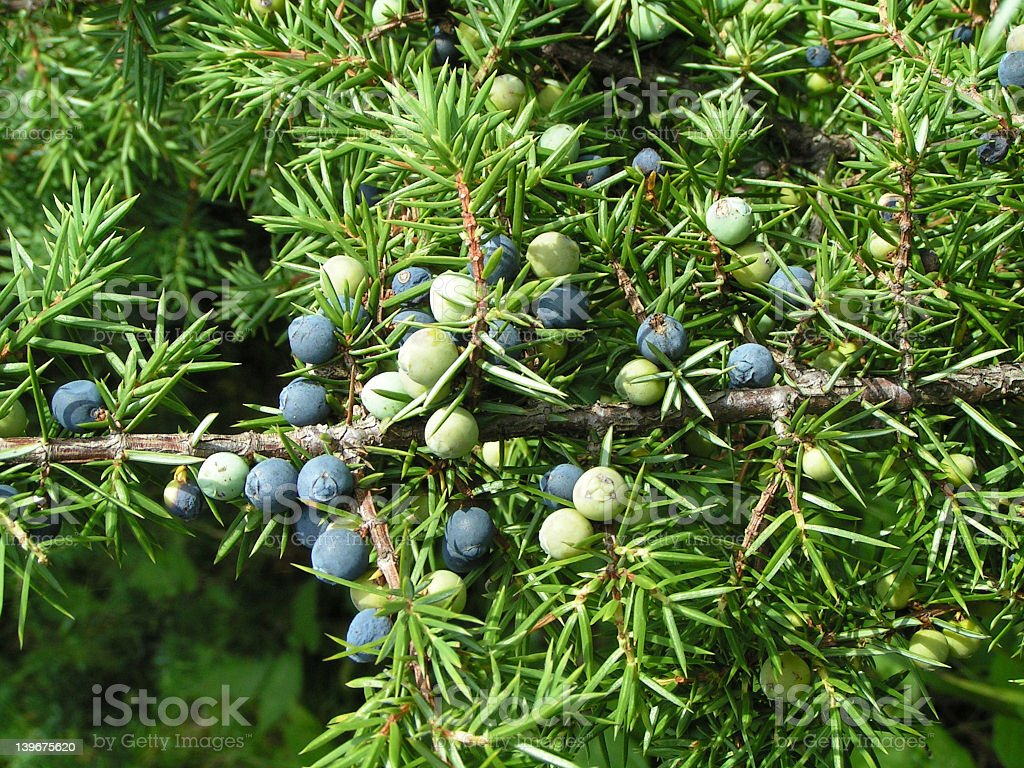 A close-up shot of a juniper with round little fruits stock photo