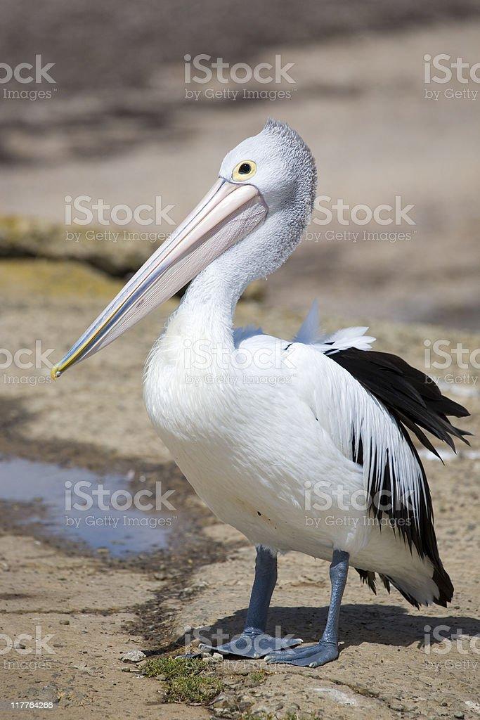 Close-up shot of a pelican at Kangaroo Island, Australia royalty-free stock photo