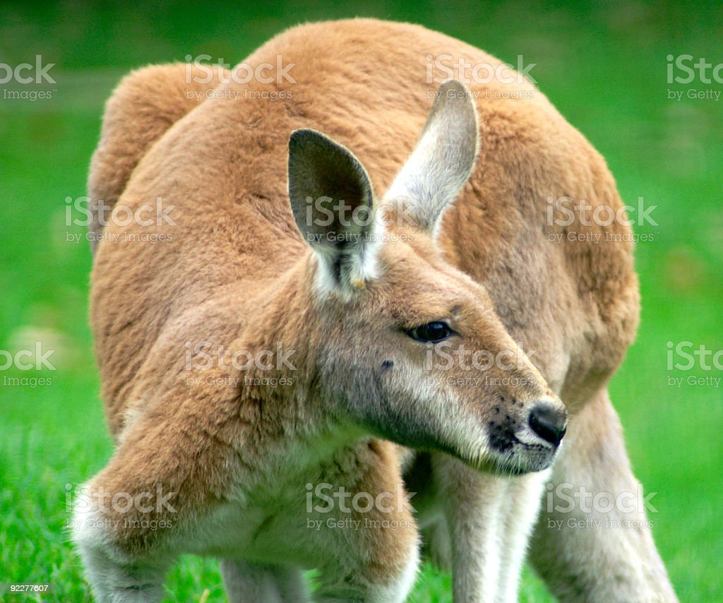 A close-up shot of a red kangaroo stock photo