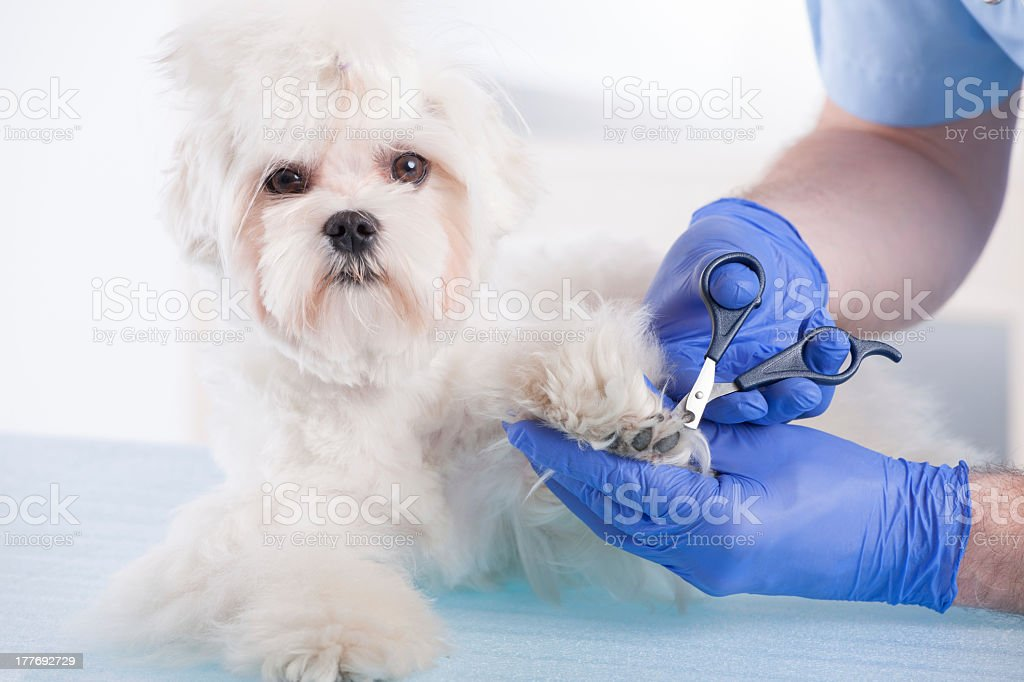 Close-up shot of a vet trimming the nails of a white dog stock photo