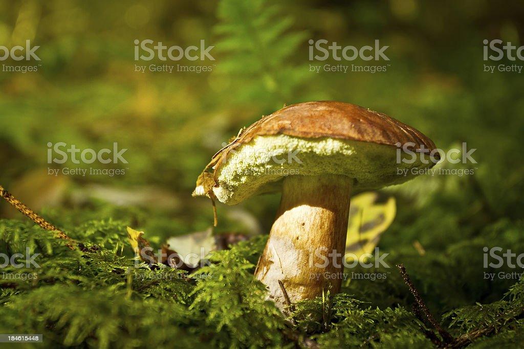 Close-up shot of boletus edulis stock photo