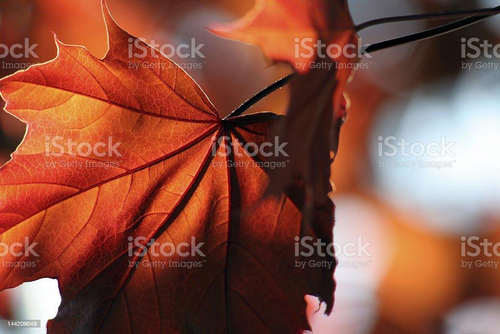 Close-up shot of bronze maple leaf royalty-free stock photo