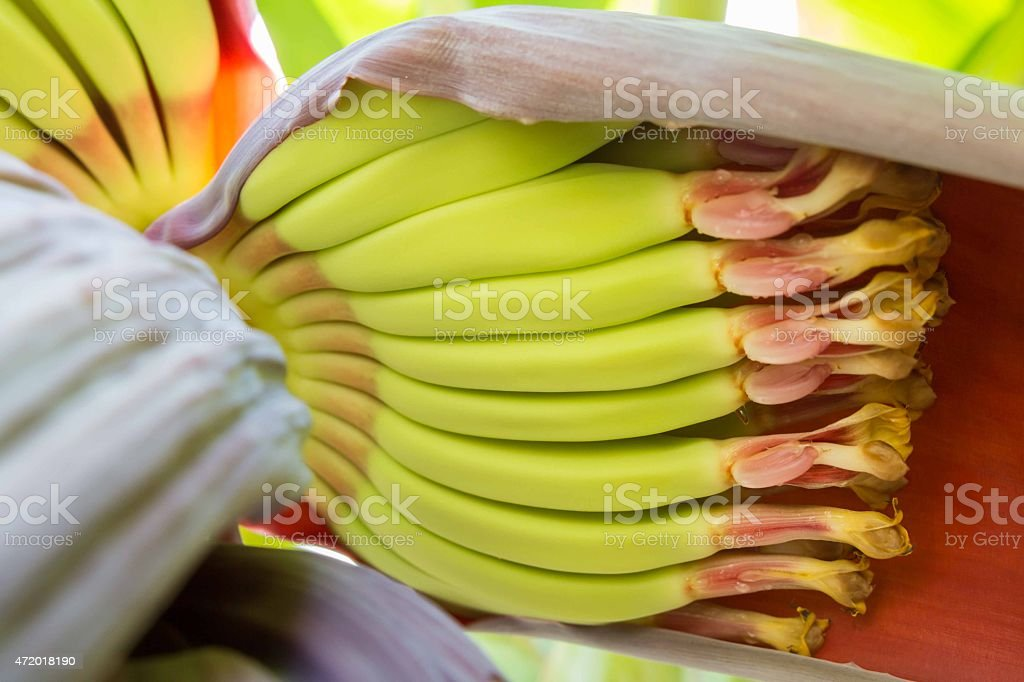 Close-up shot of details inside of a banana flower stock photo