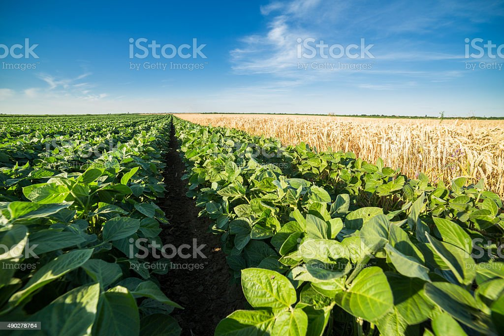 Close-up shot of green soybean field alongside of ripe wheat stock photo