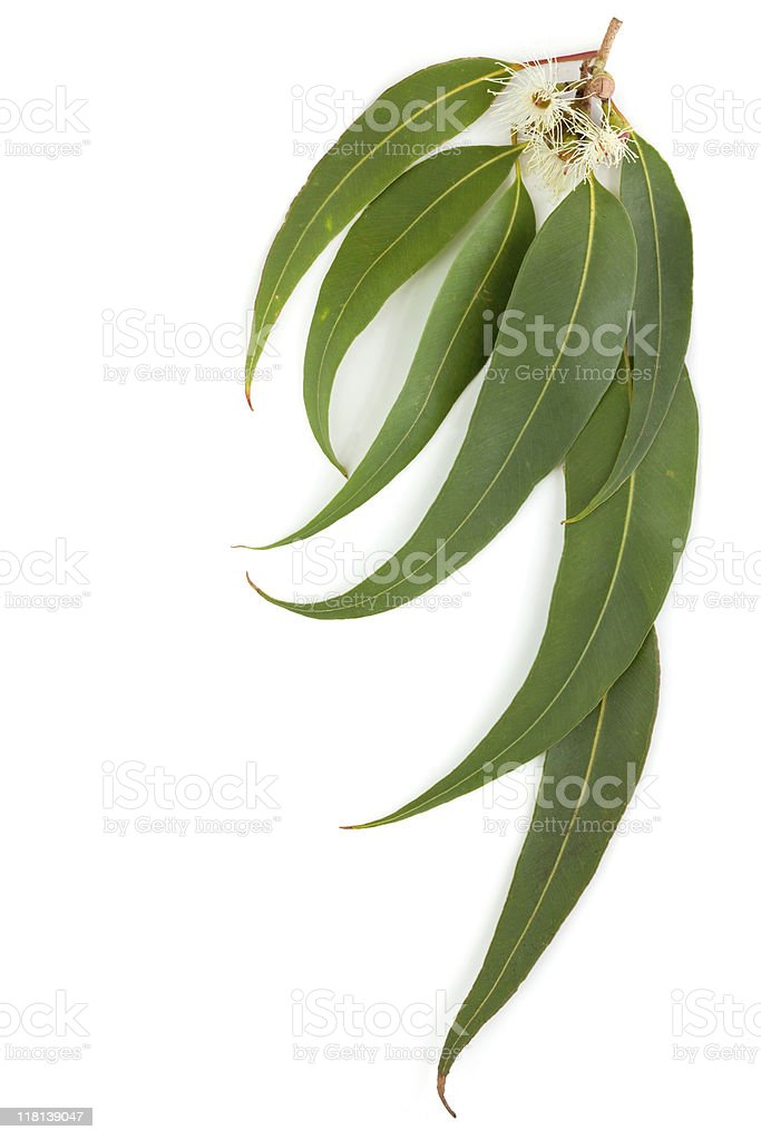Close-up shot of gum leaves isolated on a white background stock photo