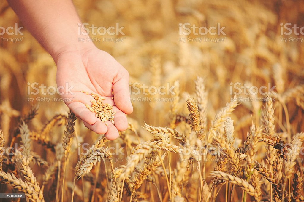 Closeup shot of hands holding wheat seed stock photo