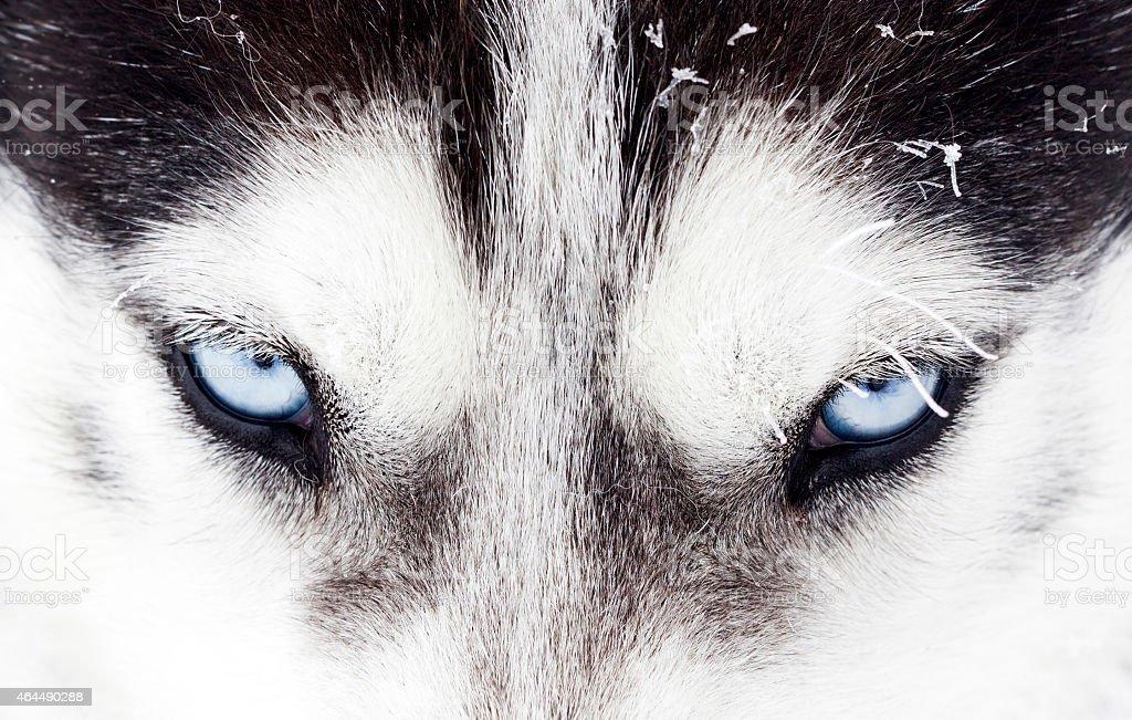 Close-up shot of husky dog blue eyes stock photo