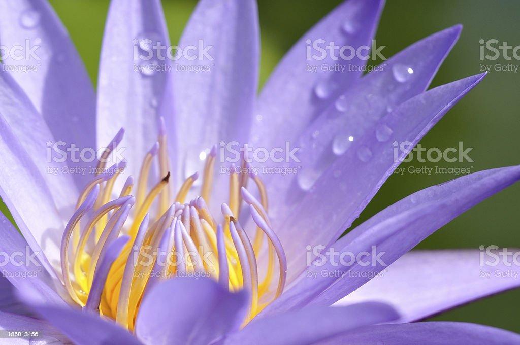 Closeup shot of purple lotus. stock photo