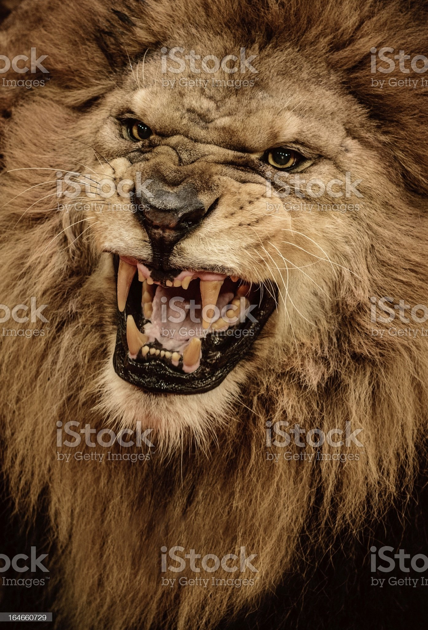 Close-up shot of roaring lion royalty-free stock photo