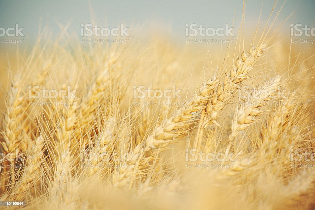 Closeup shot of wheat in the field stock photo