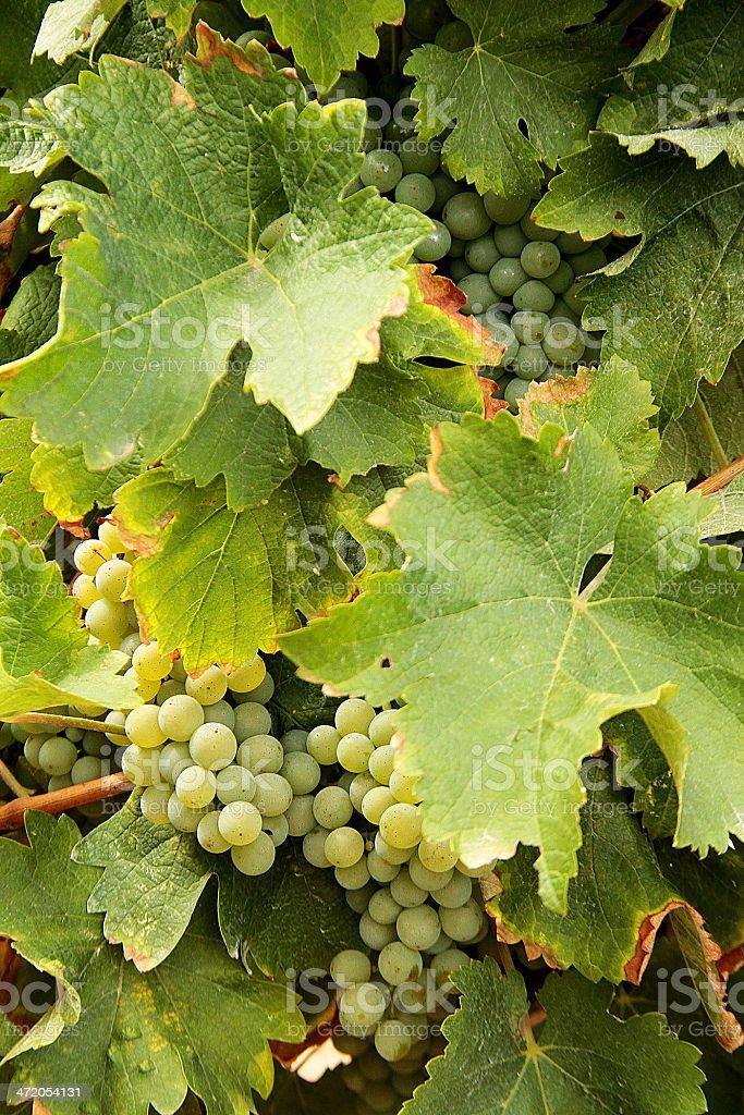 Close-up Shot di bianco d'uva vite foto stock royalty-free