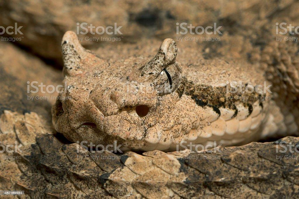 Close-up Sidewinder Rattlesnake - Venomous Snake stock photo